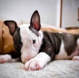 Título do anúncio: Adoráveis filhotes de Bull Terrier