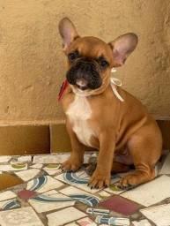 Lindos filhotes de bulldogue francês