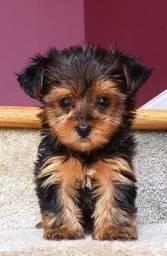 Título do anúncio: Yorkshire Terrier machos disponível pra entrega !!
