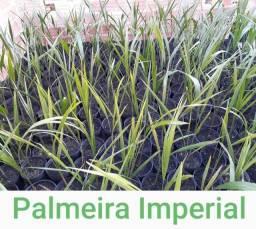 Estoque de mudas de palmeiras Real e Imperial