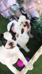 Título do anúncio: Lindos Filhotes Bulldog Francês