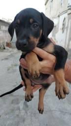 Cão Dobermam