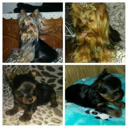 Yorkshire terrier com pedigree e microchip