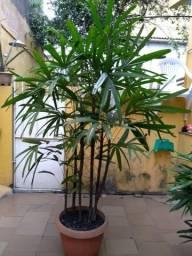 Palmeira Raphia
