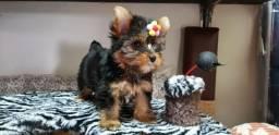 Yokshire Terrier Femea Minni