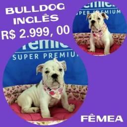 Disponível Bulldog Inglês Fêmea Excelente Linhagem + Pedigre + Microchipe + Parcelado 12X