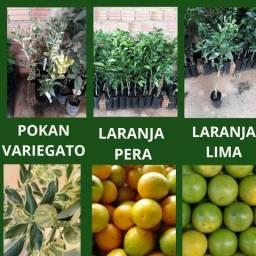 Mudas citricas enxertadas