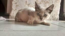 Estou doando gato siamês
