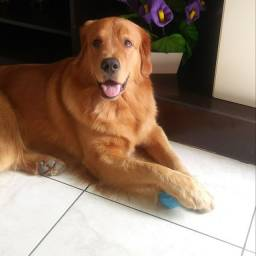 Golden Retriever procura namorada.