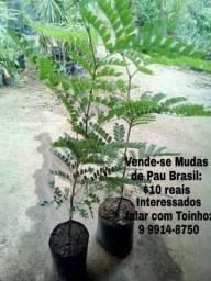 Vende-se Mudas de Pau Brasil