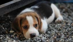 Título do anúncio: Maravilha de Beagle!! filhotinho fofissimo