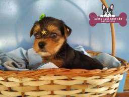Título do anúncio: Yorkshite Terrier, Filhotes na Promoção