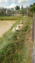 Vendo patos sao 3 femeas e 3 machos tem 3 patos que sao bem novinhos