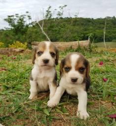 Beagle Mine - Filhotes de Beagle Pocket Disponíveis