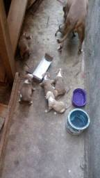 Venda de filhotes de pitbull