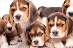 Beagle em 10x com pedigree