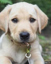 Perfeitos filhotes de Labrador