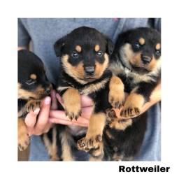 Título do anúncio: Rottweiler com pedigree e microchip em até 12x