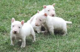 Título do anúncio: Filhotes de Bull Terrier