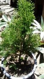 Título do anúncio: Planta Tuia