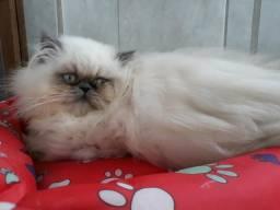 Vendo ou troco gato persa filhotes