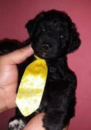 Filhote macho Poodle toy