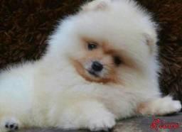 Lulu da Pomerania anãozinho com pedigree
