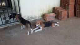Beagle com 2 meses