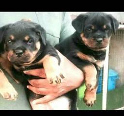 Rottweiler filhote com 60 dias vacinados e vermifugados