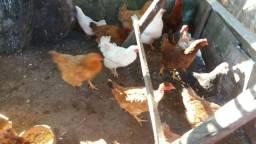 Lote de galinhas entrando em postura