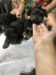 Vendo filhotes de cachorros yorkshire terrier