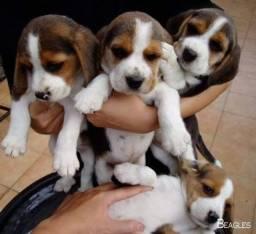 Filhotes de Beagle 13 Polegadas Tricolor Fêmea