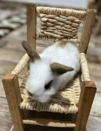 Título do anúncio: Mini Coelho com entrega em BH (coelhário Exôtic Rabbit)