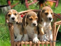 Título do anúncio: Beagle filhotes disponíveis