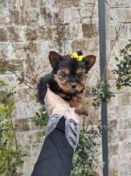 Yorskhire Terrier - 2 tamanh0s disponíveis !