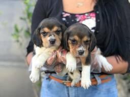 Beagle 13 polegadas, tricolor fêmeas em lojas