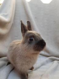 Título do anúncio: PROMOÇÃO filhotes ?e coelho anão Netherland