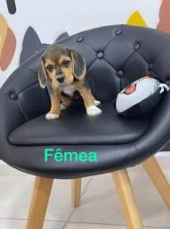 Beagle - lindos bebes a pronta entrega