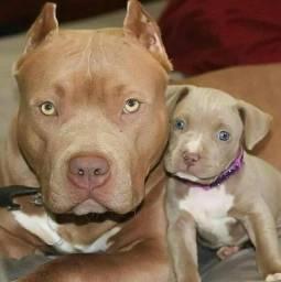 Filhotes de Pitbull Fêmea e Macho
