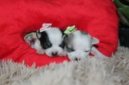 Chihuahua Fêmeas