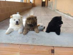 Chow-Chow consulte valores *<br><br><br>