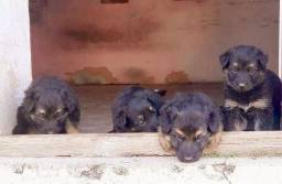 Vendo filhote de pastor alemão  capa preta