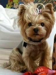 Título do anúncio: Yorkshire Terrier machos com garantia pós venda!!!