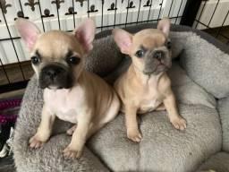 Bulldog Francês filhotinhos a pronta entrega com pedigree