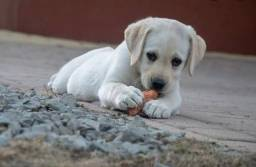 Labrador machos pronta a entrega