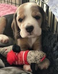 Maravilhosos filhotes de Beagle