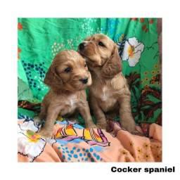 Título do anúncio: Cocker Spaniel com pedigree e microchip em até 12x