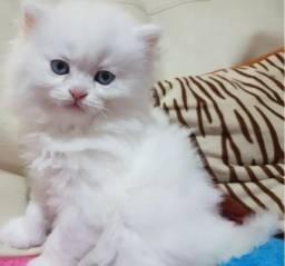 Linda filhote de gata persa branca Femea,olho azul.Entrego em Joinville,Mafra,3 Barras,Etc