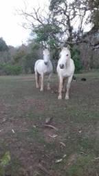Cavalos raça Percheron