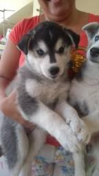 Vendo cachorro husky siberiano